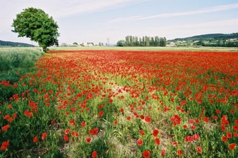 poppiesfield.jpg