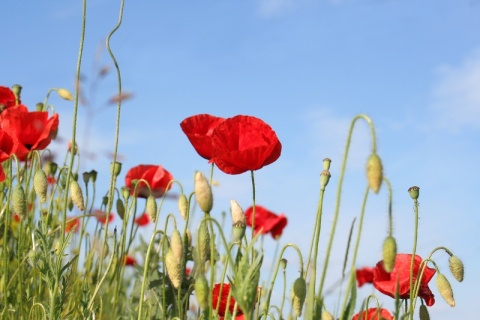 Picture of a field of red poppies for Veterans Day
