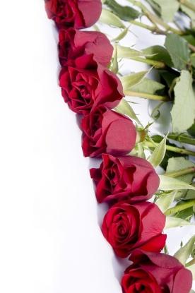 redrose6.jpg