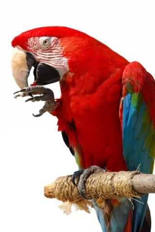 parrotred.jpg