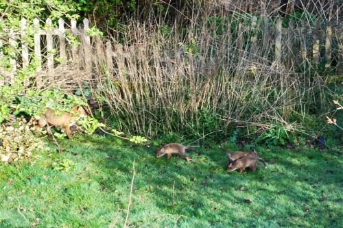 foxescubs