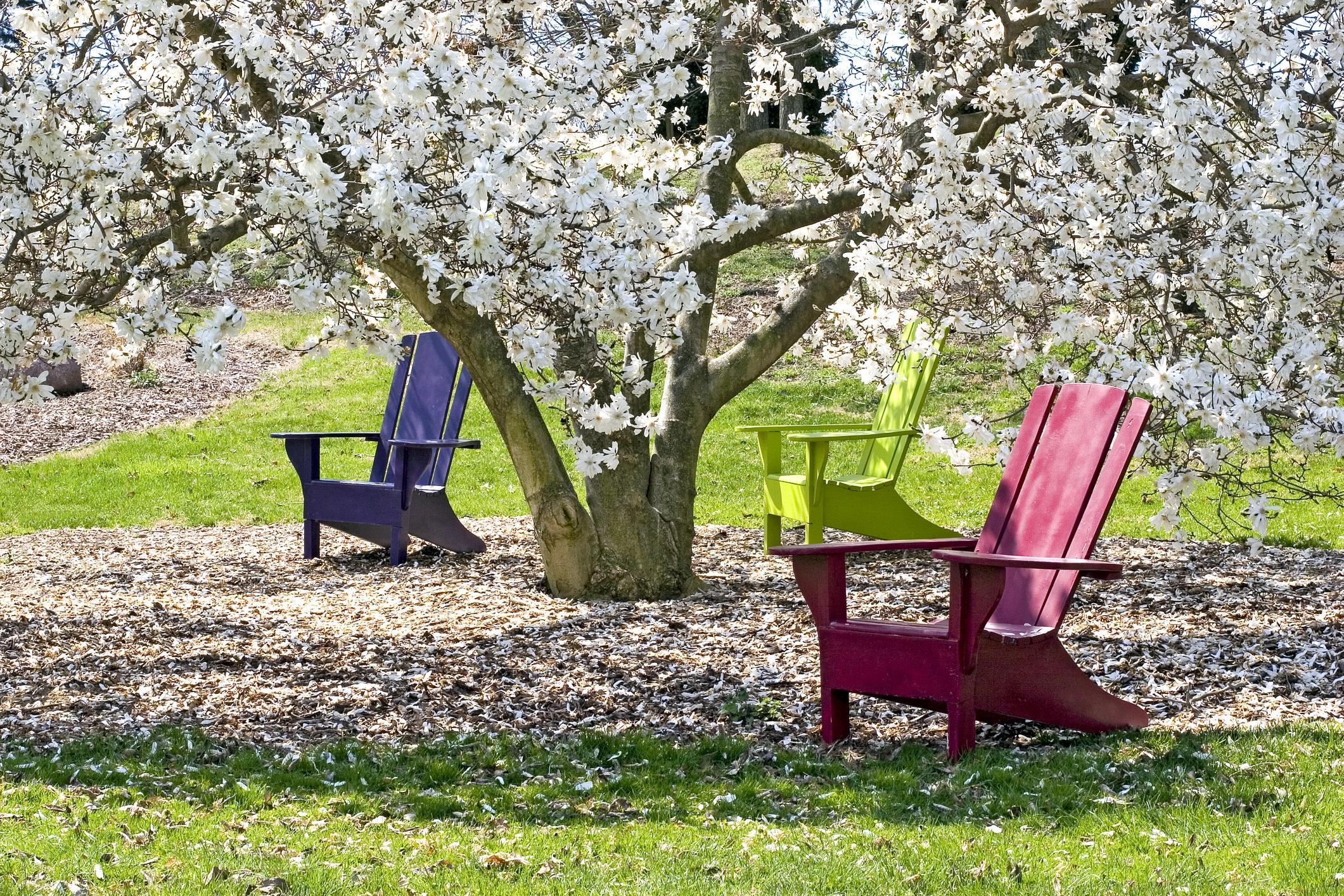 magnoliastellata1