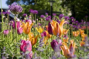 TulipsAllium